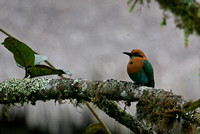 Broad-Billed Motmot  Ecuador IMG_1733
