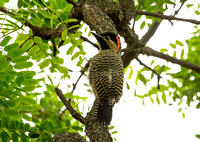 2017 01 04 Green backed Woodpecker Costanera Sur Ecological Reserve Buenos Aires Argentina_Z5A5261