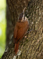 2017 01 05 Narrow billed Woodcreeper Costanera Sur Ecological Reserve Buenos Aires Argentina_Z5A5799